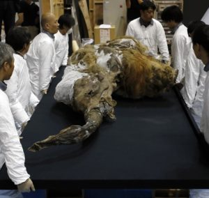 39,000-year-old female Woolly mammoth, which was found frozen in Siberia, Russia is carried by workers upon its arrival at an exhibition hall in Yokohama